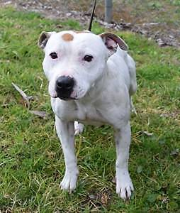 English Staffy Girl 18 mths IN VERY URGENT NEED OF HOME ! Campbelltown Campbelltown Area Preview