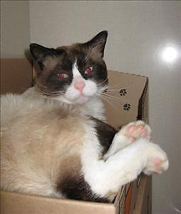 """Adult Male Cat - Siamese-Domestic Short Hair: """"Starbuck"""""""