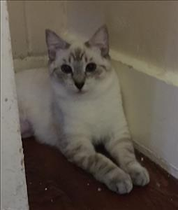 """Young Female Cat - Siamese-Domestic Short Hair: """"Ivanna"""""""