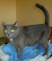 "Young Female Cat - Chartreux-Russian Blue: ""C - 90 Laura"""