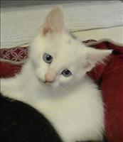 """Baby Male Cat - Domestic Short Hair: """"Blue"""""""