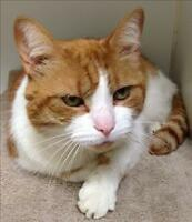 "Senior Male Cat - Domestic Short Hair: ""Aslan"""
