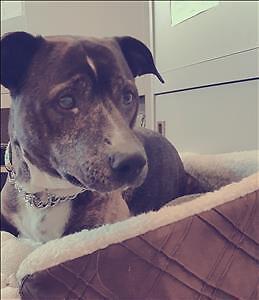 """Senior Male Dog - Pit Bull Terrier: """"Jack"""""""