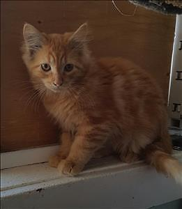 """Baby Male Cat - Domestic Long Hair: """"Stanley"""""""