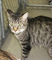 """Adult Female Cat - Domestic Long Hair: """"Shelby"""""""