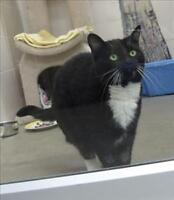 "Adult Female Cat - Domestic Short Hair: ""Pingu"""