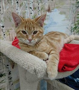 "Baby Male Cat - Domestic Short Hair: ""Duke"""