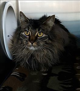 """Young Female Cat - Domestic Long Hair-Maine Coon: """"Shelly"""""""