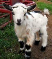 Wanted  Pygmy Dwarf Goat for pet (Spring time)