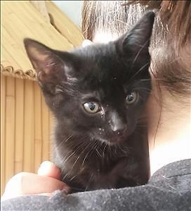 """Baby Female Cat - Domestic Short Hair: """"Coral"""""""