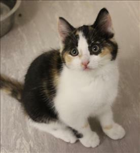 "Baby Female Cat - Domestic Short Hair: ""Brandi"""
