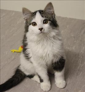 "Baby Male Cat - Domestic Long Hair: ""Samson"""