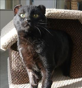 "Adult Male Cat - Domestic Short Hair: ""Jerry"""
