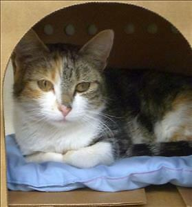 "Adult Female Cat - Domestic Short Hair: ""Cassie"""