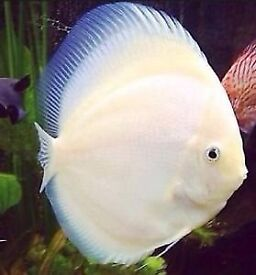 white diamond Discus tropical peaceful community fish
