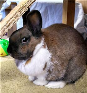 """Young Female Rabbit - American: """"S'More"""""""