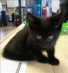 "Baby Male Cat - Domestic Medium Hair: ""Parker"""