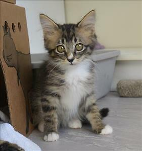 "Baby Male Cat - Domestic Short Hair: ""Connor"""