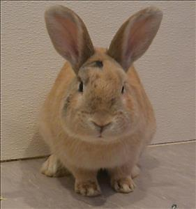 "Young Male Rabbit - American Sable: ""Bugz"""