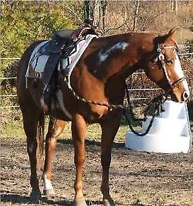 14 year old Registered Paint Mare