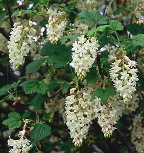 Ribes-White-Icicle-Flowering-Currant-Shrub