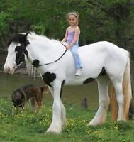9yrs old gypsy vanner horse for adoption.