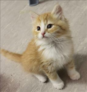 "Baby Male Cat - Domestic Medium Hair: ""Whisky"""