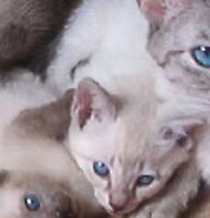TCA Old Style Siamese kittens