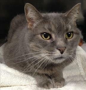 "Senior Female Cat - Domestic Short Hair: ""Carrie"""