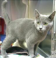 """Young Male Cat - Domestic Short Hair: """"Jake"""""""