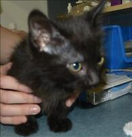 """Baby Male Cat - Domestic Short Hair: """"Buttons"""""""