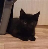 "Baby Male Cat - Domestic Short Hair: ""Banana (b)"""