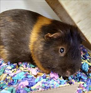 "Young Male Small & Furry - Guinea Pig: ""Gulliver"""