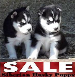 Kleo & Trylord reg Siberian Husky Brawn Built male for sale