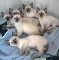 Classic Siamese kittens for sale GTA Toronto
