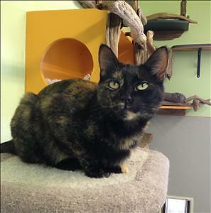 "Adult Female Cat - Domestic Short Hair: ""Mocha"""