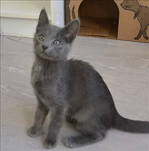 "Baby Female Cat - Domestic Short Hair: ""Mabel"""
