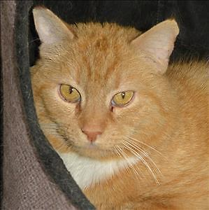 "Adult Male Cat - Domestic Short Hair: ""Garfield"""