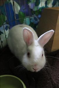 "Young Male Rabbit - New Zealand-Dwarf: ""Casper"""