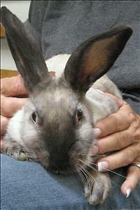 "Baby  Rabbit - American: ""Frank"""