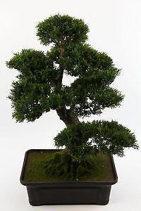 bonsai b ume g nstig online kaufen bei ebay. Black Bedroom Furniture Sets. Home Design Ideas