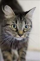 "Adult Female Cat - Domestic Long Hair: ""Saphira"""