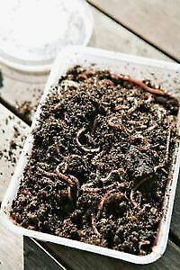 Red wiggler worms for composting