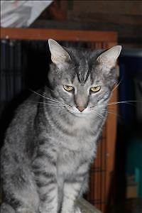 "Adult Male Cat - Domestic Short Hair: ""Benny"""