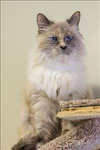 "Senior Female Cat - Domestic Long Hair: ""Marilyn"""