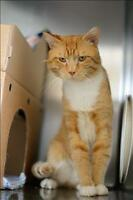 "Young Male Cat - Domestic Short Hair: ""Cheeto"""