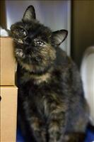 "Adult Female Cat - Domestic Short Hair: ""Maria"""