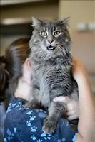 "Adult Male Cat - Domestic Long Hair: ""Larry"""