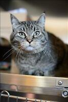 "Adult Female Cat - Domestic Short Hair: ""Colorado"""