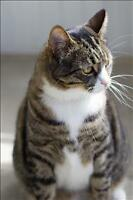 "Adult Male Cat - Domestic Short Hair: ""Frankie"""